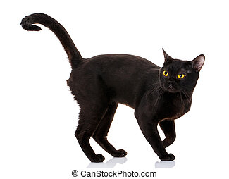 Bombay black cat on a white background with a climb up the...