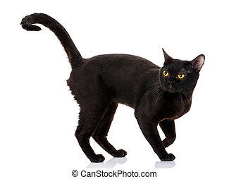 Bombay, branca, pretas, fundo, gato