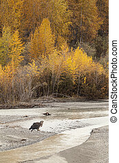 Immature Eagle in Fall - Immature bald eagle by the Chilkat...