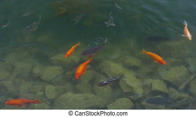 Goldfish and carp in clear water
