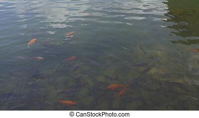 Carp in the water and green islet, Vietnam - Tilt shot of...