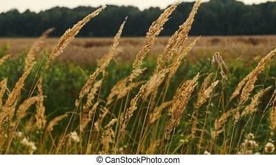 long dry grass swing in wind