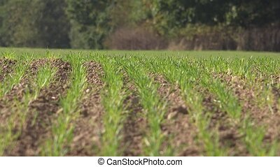 green wheat sprouts shoots in spring field. 4K - green wheat...