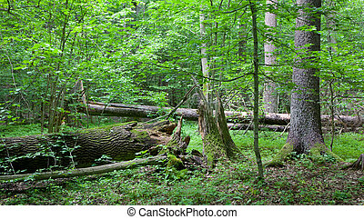 Old trees in natural stand of Bialowieza Forest - Old trees...