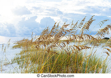 Golden Sea Oats on Florida Beach - Golden sea oats waving in...