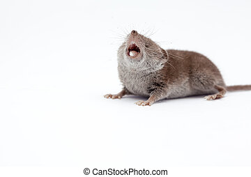 an small shrew - on a white background, there is a small...
