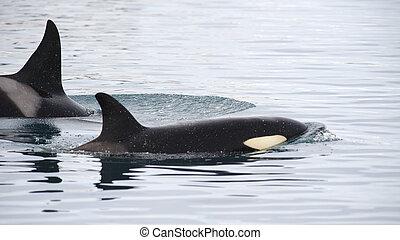 Pod of Orcas, Iceland - Pod of Orcas, Grundarfjordur,...