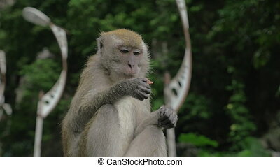 At Batu Caves, Malaysia seen monkey, which is sitting and...
