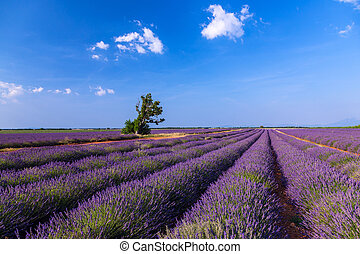 Lavender field near Valensole.France - Lavender field summer...