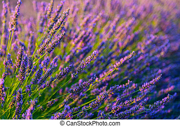 Blooming purple lavender herb - Botanical background of...