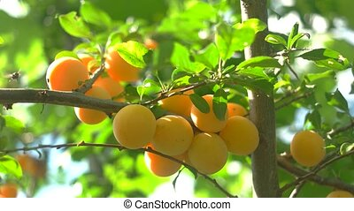 Tree branch with fruits. Leaves and sunshine. Crop of cherry...