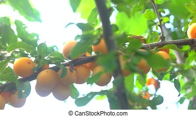 Yellow plums on branch. Leaves and fruits. Summer crop in...