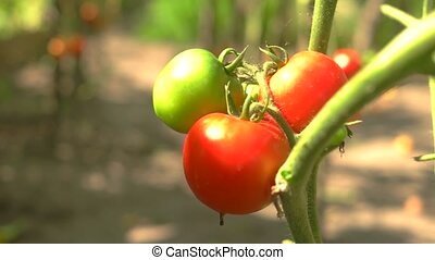 Tomatoes under sunlight. Ripe red vegetable. Natural...