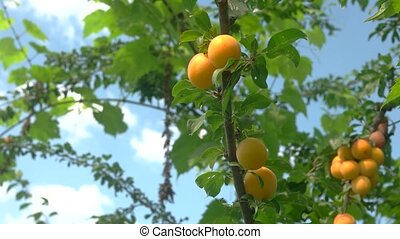 Hand picks fruit from tree. Cherry plums on the branch....