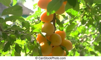 Yellow cherry plums. Fruits on tree branch. Ripe and juicy....