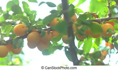Yellow fruits on branch. Green tree leaves. Cherry plums in...