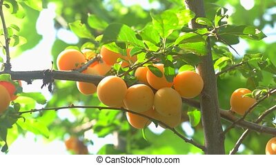 Branch with yellow fruits. Tree leaves of green color. Ripe...
