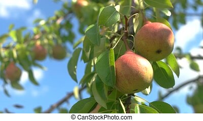 Ripe pears on branch.