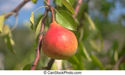 Red pear and green leaves. Fruit under sunlight. Natural...