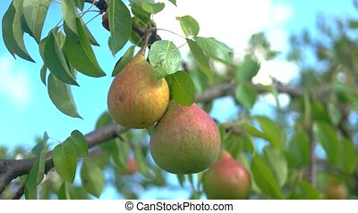 Pears and green leaves. Branch of tree with fruits. Ripe,...