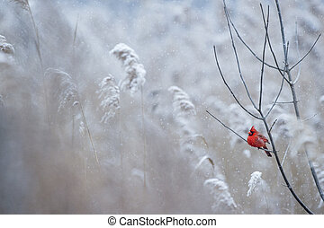 Snow and Red - A male Northern Cardinal perches on a branch...