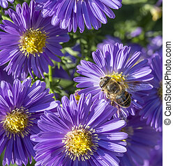 violet autumn aster with bee searching for pollen