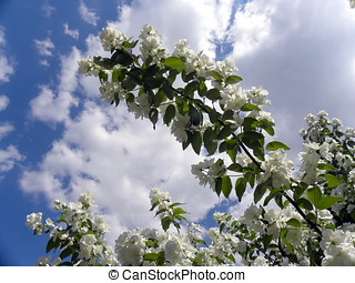 Jasmin twig against sky background - Russia, Moscow City...