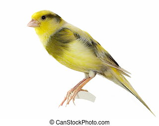gelber, kanarienvogel, Serinus, canaria