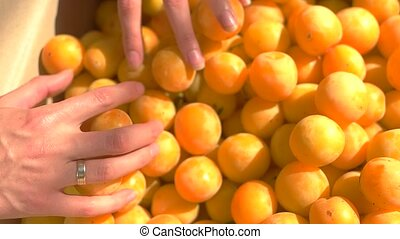 Lady's hand holding fruit. Lots of yellow plums. Good season...