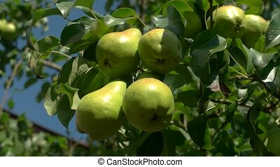 Green pears on a branch. Leaves of tree and fruit. Ecology...