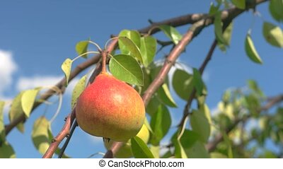 Ripe pear on a branch. Tree leaves and fruit. Good ecology...