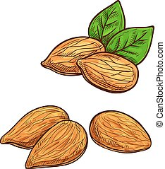 Almond isolated vector icon - Almonds. Isolated vector...