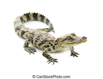 young crocodile on white background