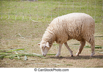 face of merino sheep in ranch farm use for farm animals and...