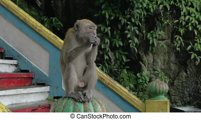 At Batu Caves, Malaysia man give to monkey food and she is...