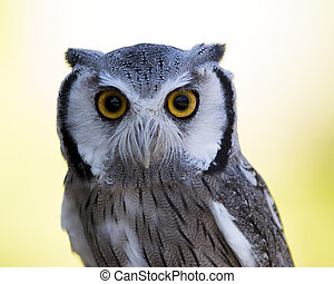 Closeup of a Northern White-faced Owl - Closeup of an...