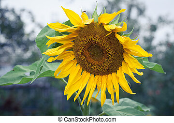 Sunflowers In Bloom - Bright Yellow Flower Of A Sunflower On...