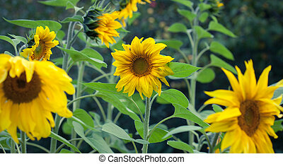 Sunflower Closeup Background - Bright Yellow Flower Of A...