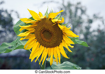 Sunflowers In Bloom - Sunflower Oil Production, Sunflower...