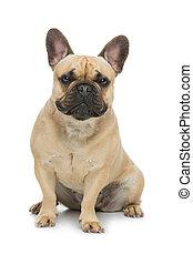 Beautiful french bulldog dog - Portrait of beautiful young...