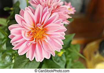 Dahlia - Pink dahlia against the softly muted shades of the...
