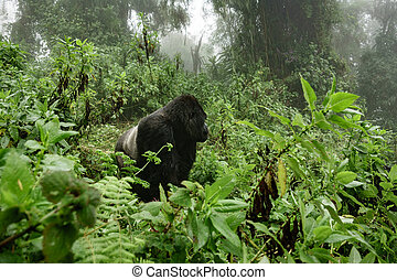 Silverback mountain gorilla in the misty forest - Profile of...