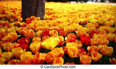 tulips garden - images of tulips in spring