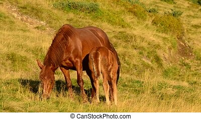 Foal feeds from brown mare on pasture in a field