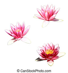 Waterlily isolated