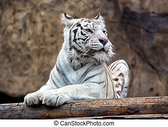 White Bengal Tiger - Bengal Tiger - a rare subspecies, is...