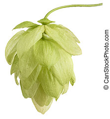 hop ( Humulus lupulus ) - hop cone isolated on white...