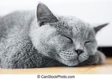 Young cute cat sleeping on wooden floor. The British...