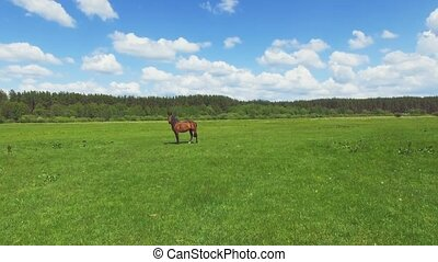 Flight above the green meadow with grazing horse. 4K 30fps -...