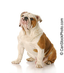 english bulldog - eight month old english bulldog puppy...
